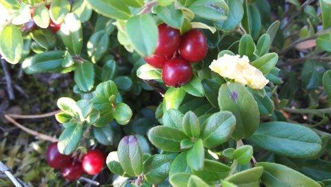 Kuva Natural Wax of Arctic Berries as Our Treasure-WAX
